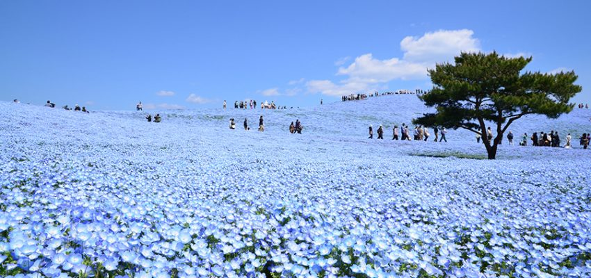 Lautan Bunga di Hitachi Seaside Park / ひたち海浜公園 (Hitachi Kaihin Koen)